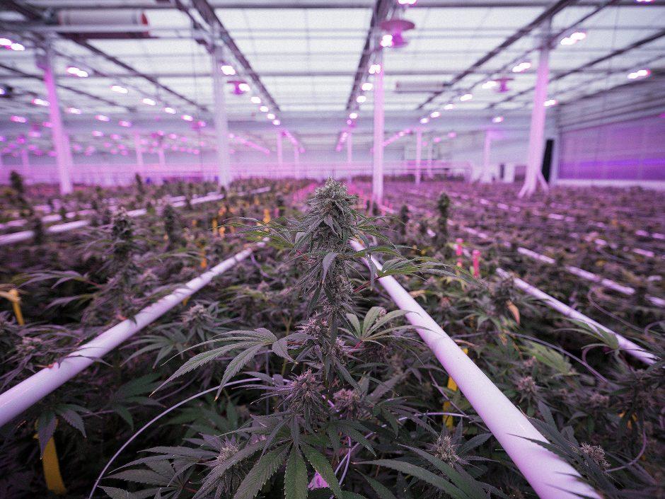 употребата на марихуана в медицината